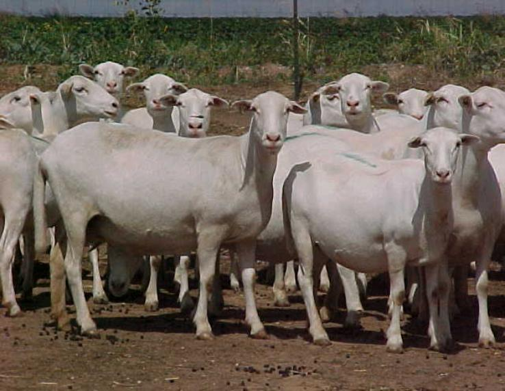 Royal White Sheep Assn Official